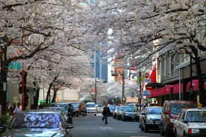 Sakura-dori in Kyoto